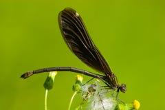 härlig calopteryxdemoisellevirgo royaltyfria foton