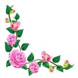 härlig camelliavine Arkivfoton