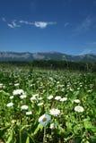 Härlig camomile i Alps Arkivbild