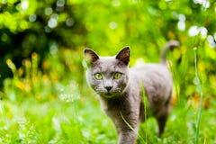 Härlig carthusian katt med gröna ögon och grönt gå för bakgrund Royaltyfria Foton