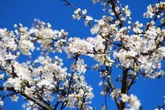 härlig Cherrytree Royaltyfria Foton