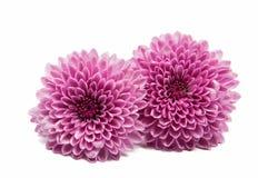 härlig chrysanthemum royaltyfri foto