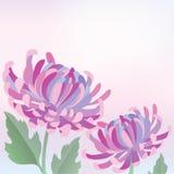 härlig chrysanthemum Royaltyfria Bilder