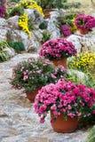 härlig chrysanthemum royaltyfria foton