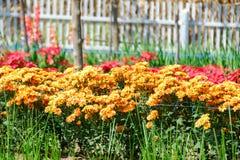 härlig chrysanthemum fotografering för bildbyråer