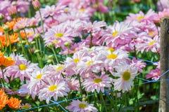 härlig chrysanthemum arkivfoton