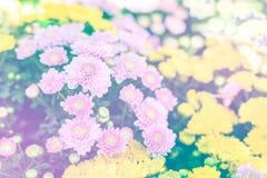 härlig chrysanthemum arkivfoto