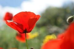 Härlig closeup av röd poppy1 Royaltyfri Fotografi