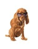 Härlig cockerspanielspaniel i solglasögon Royaltyfri Bild