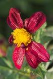 Härlig dahliablomma med aftonsolreflexioner i vattendroppar på mörkt - röda kronblad på en varm höstdag royaltyfri fotografi