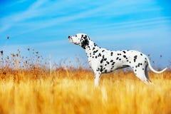 härlig dalmatian hund arkivbild