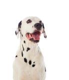 härlig dalmatian hund Arkivfoton