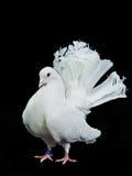 härlig dekorativ duvawhite Royaltyfri Foto