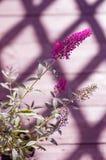 Härlig dekorativ rosa buddleusblomma Sommarlila toning arkivbild