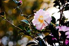 Härlig delikat rosa blomma av Theaceaekamelian vernal x arkivfoton