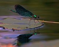Härlig Demoiselle, Calopteryx virgo Royaltyfri Bild