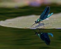 Härlig Demoiselle, Calopteryx virgo Arkivfoton