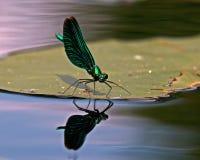 Härlig Demoiselle, Calopteryx virgo Arkivfoto
