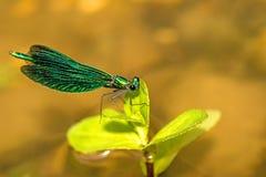 Härlig Demoiselle, Calopteryx virgo Arkivbilder
