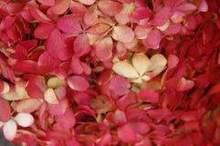 Härlig detalj av den röda och vita vanliga hortensian från greenmarket i closeup arkivbild