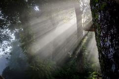 Härlig dimma i skog med lekmanna- ljus Fotografering för Bildbyråer