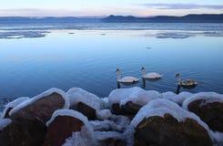 Härlig djupfryst sjö Balaton med tre svanar arkivbild