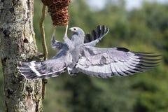 Härlig djurlivbild av en afrikansk engelsk harhundhökfågel av rovet royaltyfria bilder