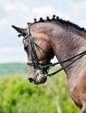 härlig dressagehästsport Royaltyfri Bild