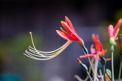 Härlig drottninglilja Arkivfoto