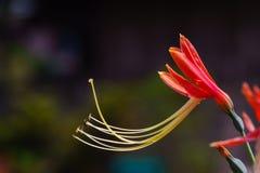 Härlig drottninglilja Arkivbild