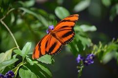 Härlig ek Tiger Butterfly med spridningvingar Royaltyfri Fotografi