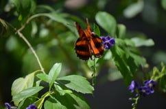 Härlig ek Tiger Butterfly på purpurfärgade blommor Royaltyfria Bilder