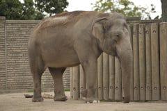 härlig elefant arkivbild