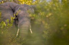 Härlig elefant som matar i Krugeren royaltyfria bilder