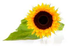 härlig en solros Royaltyfria Bilder