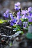 Härlig engelsk violet Royaltyfri Bild