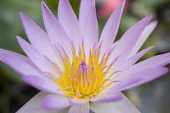 Härlig enkel lotusblomma Arkivbild