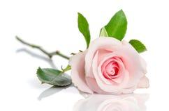 Härlig enkel rosa färgros Fotografering för Bildbyråer
