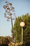 härlig enorm agave i solnedgång Fotografering för Bildbyråer