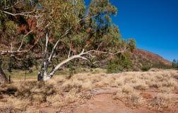 Härlig eukalyptusträd på Glen Helen Gorge arkivbilder