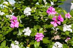 Härlig exotisk lila och vita blommor på en buske med gräsplan le royaltyfri fotografi