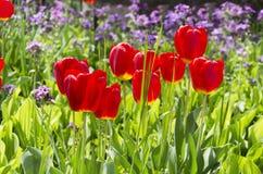 Härlig fältpåfyllning av vårblommor på solig dag Nya blommande tulpan och andra blommor fotografering för bildbyråer