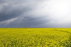 härlig fältsenap Fotografering för Bildbyråer