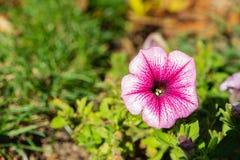 Härlig färg för Maurentanische Malve closeup arkivfoto
