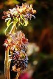 Härlig färgrik Aeonium på svart bakgrund i vår Fotografering för Bildbyråer