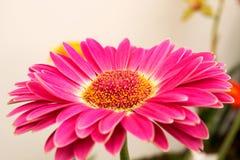 Härlig färgrik blomma royaltyfri bild