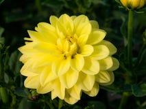 Härlig färgrik blomning av dahlior på en solig dag arkivfoton