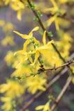 Härlig färgrik blomstra gul forsythia Arkivfoto