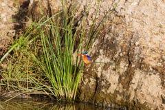 Härlig färgrik fågel - kungsfiskarefågel kenya Royaltyfri Bild