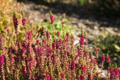 Härlig färgrik ljung som växer i trädgården royaltyfri bild